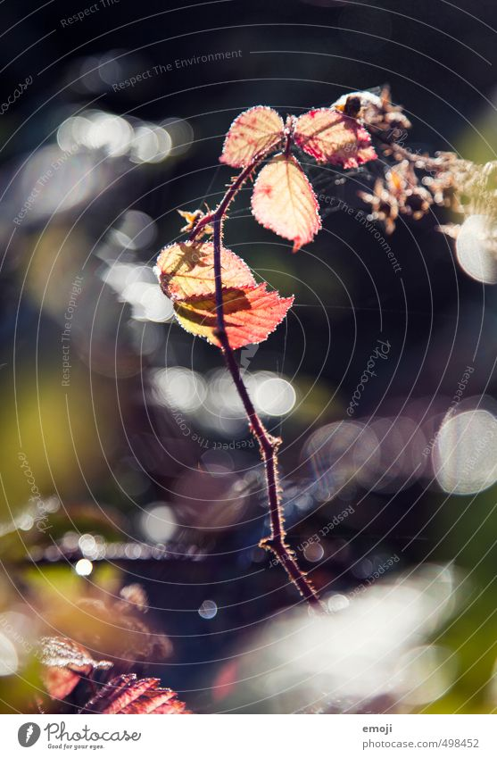 oo Natur Pflanze rot Blatt Umwelt Herbst natürlich Sträucher