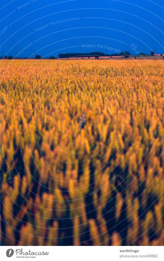 Feldstärke 2 Himmel blau ruhig gelb Farbe Feld Horizont nah Getreide Gewitter Ähren Hochformat Vordergrund fruchtbar
