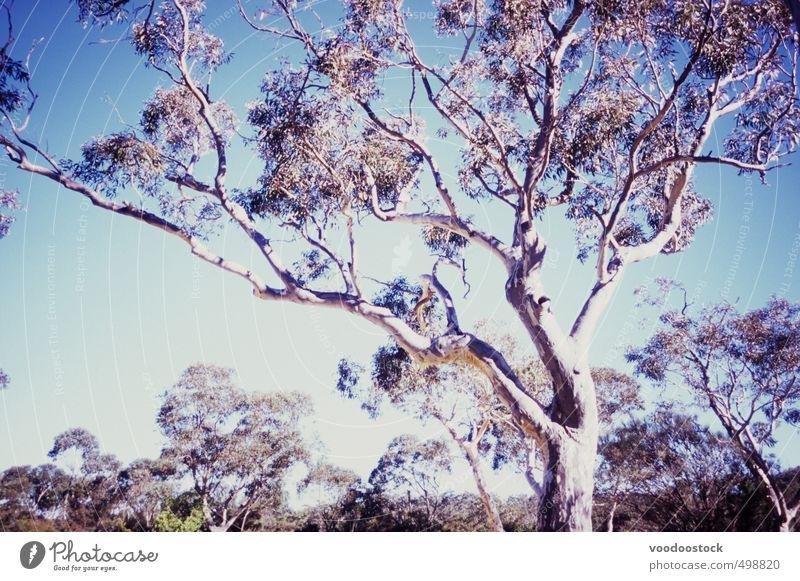 Australischer Gummibaum unter strahlender Sonne Natur Pflanze Himmel Wolkenloser Himmel Baum Blatt Wildpflanze Australien hell trocken blau Abenteuer