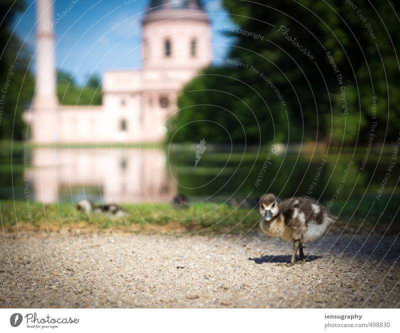 attention duckling Garten Park Wiese Teich Moschee Tier Wildtier Ente 1 Tiergruppe Tierjunges Tierfamilie blau braun gelb gold grün rosa Lebensfreude Tierliebe