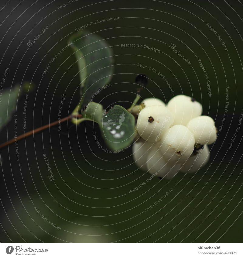 Viele Knaller Pflanze schön grün weiß Blatt Herbst natürlich klein Garten Wachstum Frucht leuchten Sträucher einfach Blühend rund