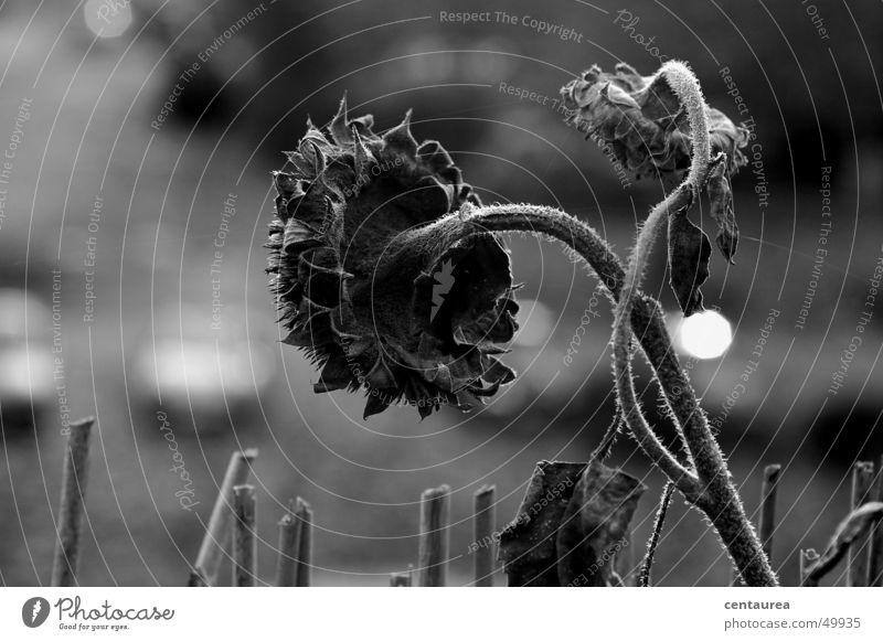 Zeitzeugen Einsamkeit dunkel kalt Herbst Tod Sonnenblume vergangen welk Zeitzeuge
