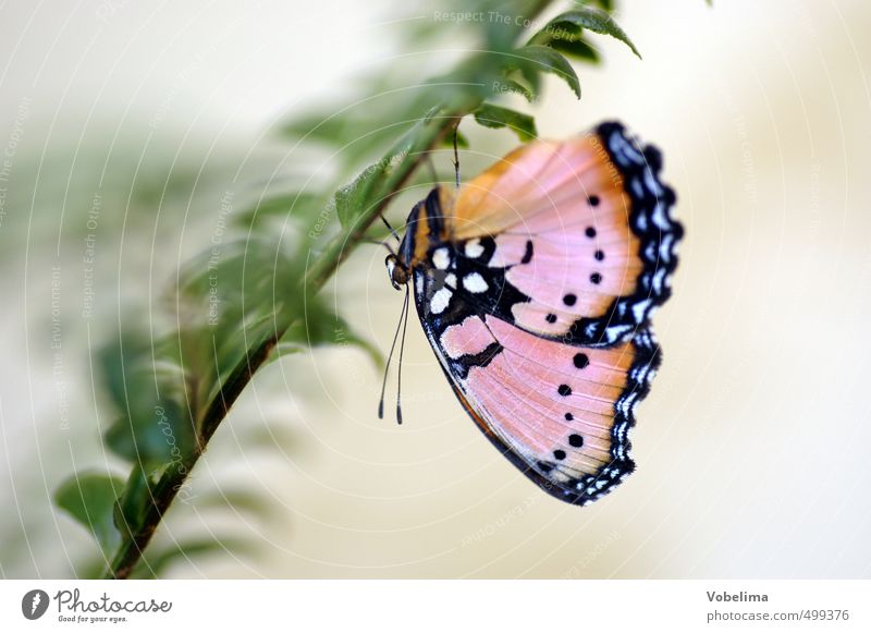 Schmetterling grün weiß Tier schwarz braun rosa Insekt hängen
