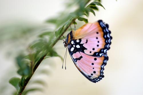 Schmetterling Tier 1 hängen braun mehrfarbig grün rosa schwarz weiß tagfalter Insekt pflanze Farbfoto Makroaufnahme Textfreiraum rechts Tag