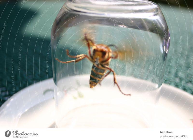 Hornisse 01 Tier Insekt Sommer Plage Hornissen Wespen Tisch stechen Glas fliegen Natur Flügel flügeltier Tischwäsche