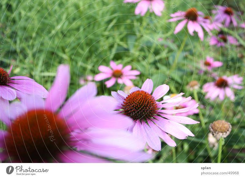 Sternastern Natur Blume Sommer Wiese violett