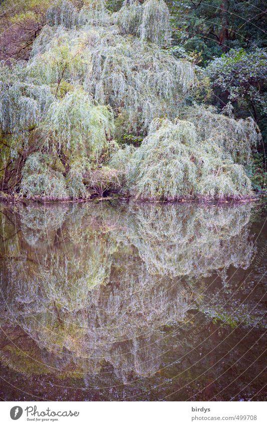wenn die trauernde Weide das Wasser küsst Natur Pflanze Herbst Baum Trauerweide Wald Seeufer Teich berühren ästhetisch Romantik ruhig Idylle kühle Farben