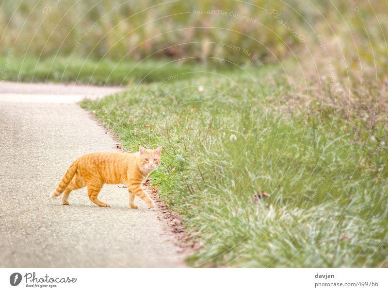 100. - Rote Katze von links bringt Glück :-) grün Sommer rot ruhig Tier Umwelt Gras orange laufen Perspektive beobachten Neugier Gelassenheit Mut Jagd