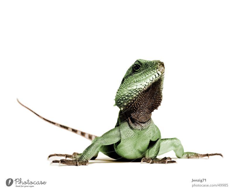 Poser. Reptil Echsen Tier Leguane Echte Eidechsen Agamen Wasseragame