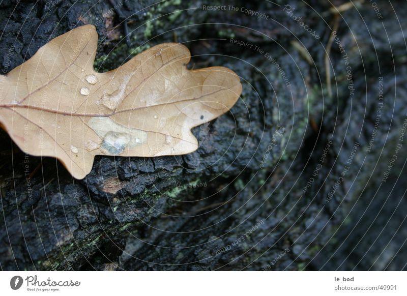 Ein Blatt drunt am Bodden Herbst Vorpommersche Boddenlandschaft Baum Baumstamm braun Baumrinde Europa Mecklenburg-Vorpommern nass Sehnsucht Trauer Außenaufnahme
