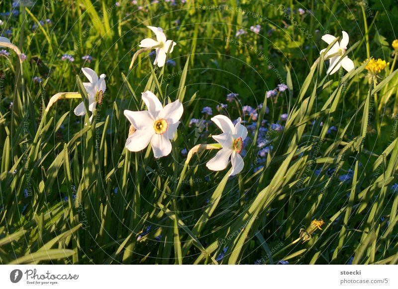 Osterglocken ? Gelbe Narzisse Pflanze Kleineutersdorf Natur