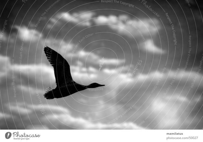 Gewitterente Himmel Wolken dunkel Vogel Wetter fliegen Unwetter Ente