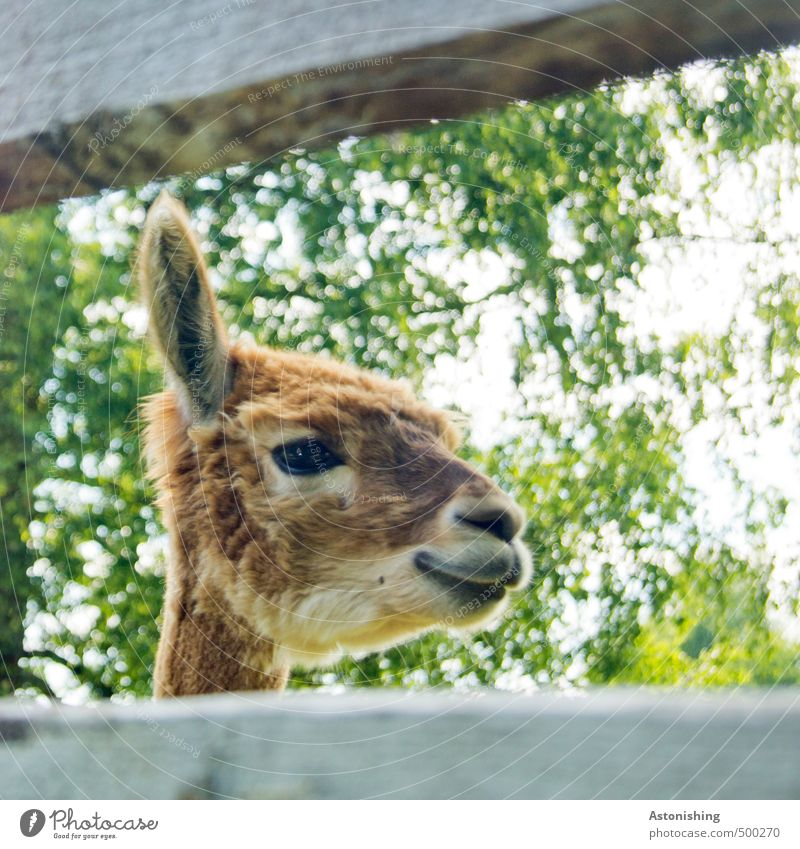 """""""Hey!"""" Pflanze Baum Tier Nutztier Wildtier Tiergesicht Fell Lama Ohr Auge Schnauze Hals Maul 1 Holz Blick braun grün weiß weich niedlich Freundlichkeit Lächeln"""