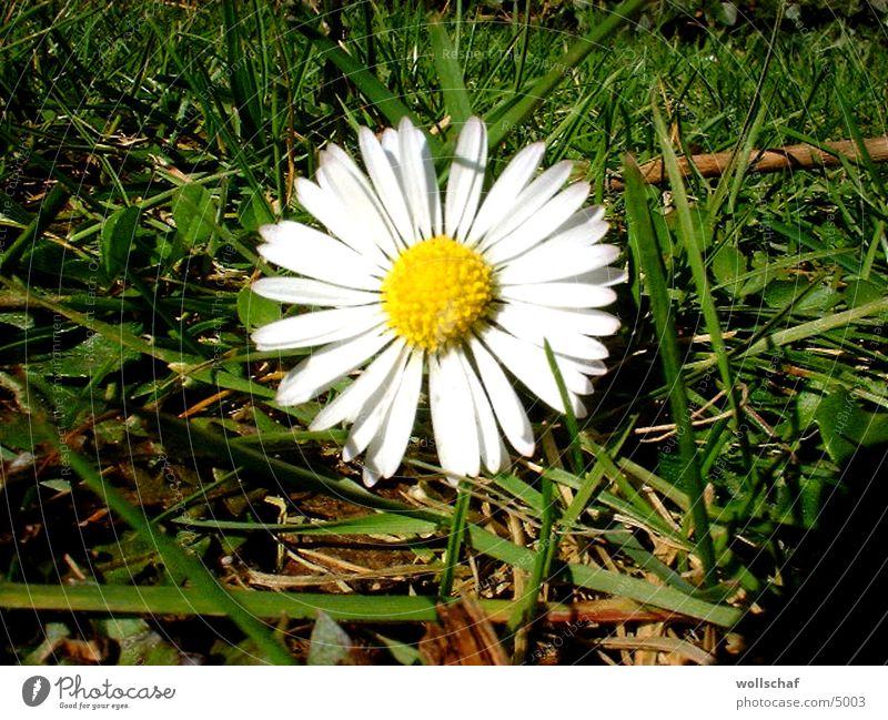 Gänseblümchen Blume Wiese Frühling Pflanze