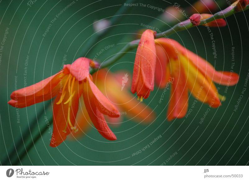 Blütentraum Natur Blume Pflanze rot zart Zweig Anmut lieblich Blütenkelch