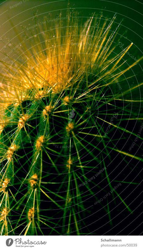 Staub-Kaktus Natur grün Pflanze gelb Wüste Reaktionen u. Effekte Stachel