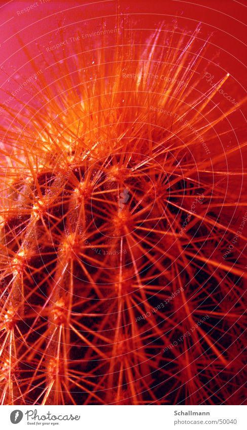Staub-Kaktus-2 Natur Pflanze rot gelb gefährlich bedrohlich Wüste Grafik u. Illustration Gift Stachel stechen Färbung bearbeitet
