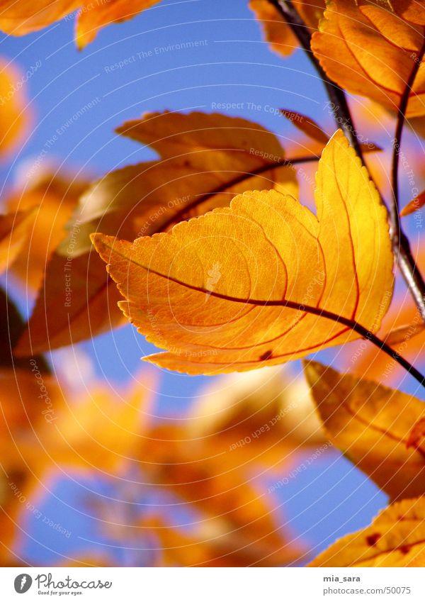 herbstblätter Blatt mehrfarbig Herbst Blattadern Baum Außenaufnahme Unschärfe orange Himmel blau Ast