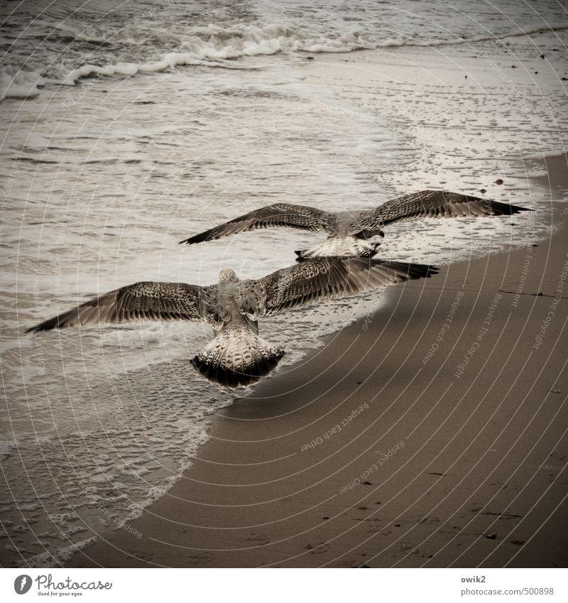 Spannweite Natur schön Wasser Tier Umwelt Leben Küste Vogel Sand Zusammensein Wetter elegant Kraft Wellen Idylle Wind