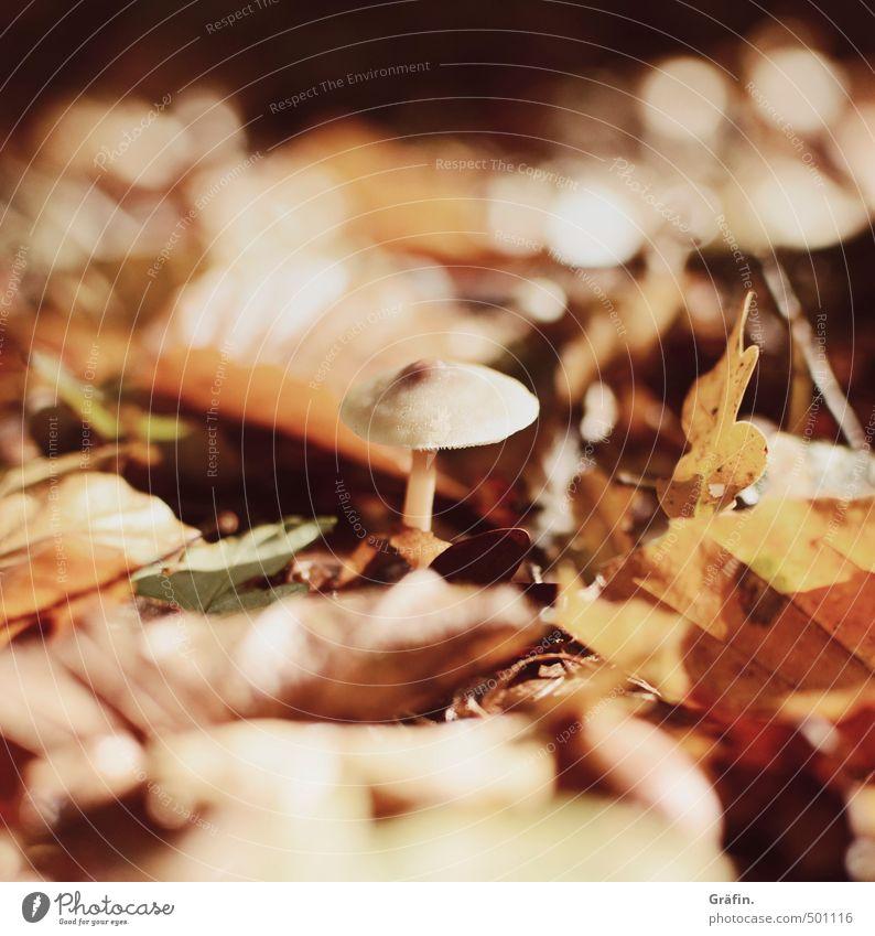 Ein Pilzlein steht im Walde Pflanze Erde Herbst Wildpflanze Wachstum lecker braun gelb orange Schutz Einsamkeit Natur Überleben Umwelt Wandel & Veränderung