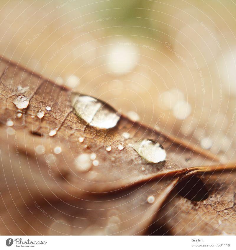 Herbst II Umwelt Natur Pflanze Wassertropfen Regen Blatt Wald glänzend dehydrieren braun Umweltschutz Vergänglichkeit Wachstum Wandel & Veränderung Farbfoto