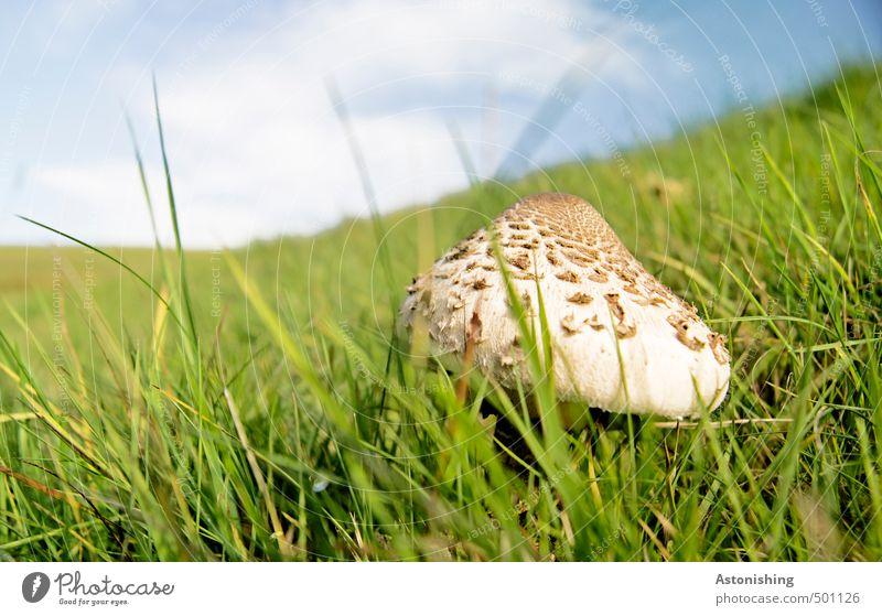 Parasol in der Wiese I Umwelt Natur Landschaft Pflanze Luft Himmel Wolken Horizont Sommer Wetter Schönes Wetter Wärme Gras Wildpflanze Pilz Parasolpilz Hügel