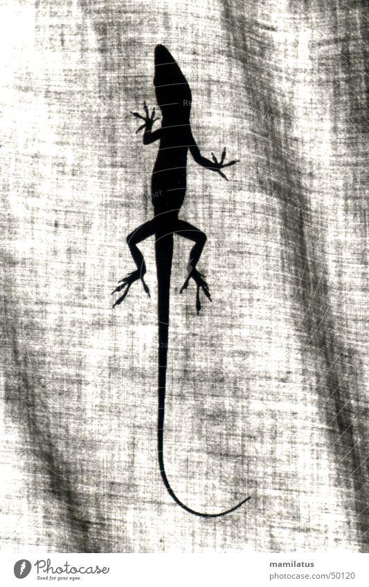 Anolis Reptil Echsen Leguane Tier Stoff Gardine anoli rotkehlanoli Schatten Silhouette