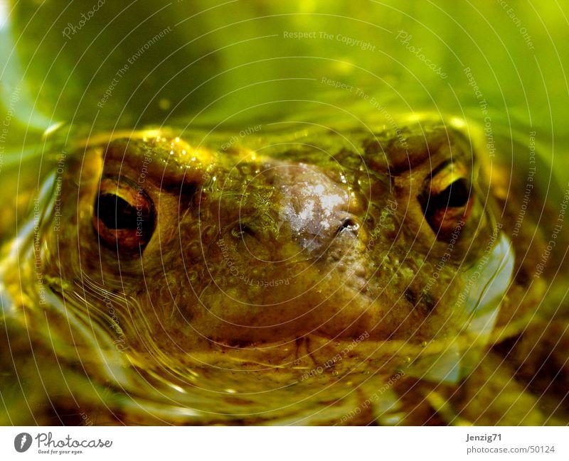Aufgetaucht. Erdkröte Teich Lurch Kröte Frosch Wasser frog Auge Makroaufnahme