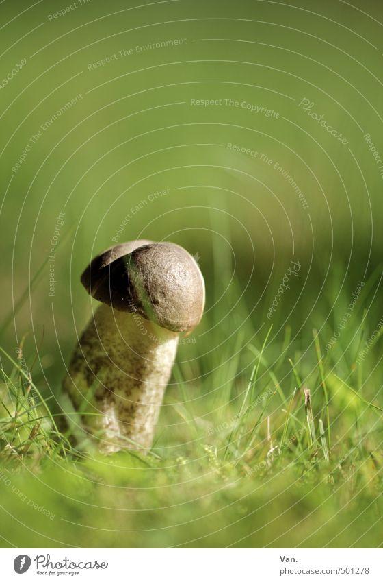 Pilzzeit Natur grün Pflanze Umwelt Wiese Herbst Gras braun Wachstum Pilz