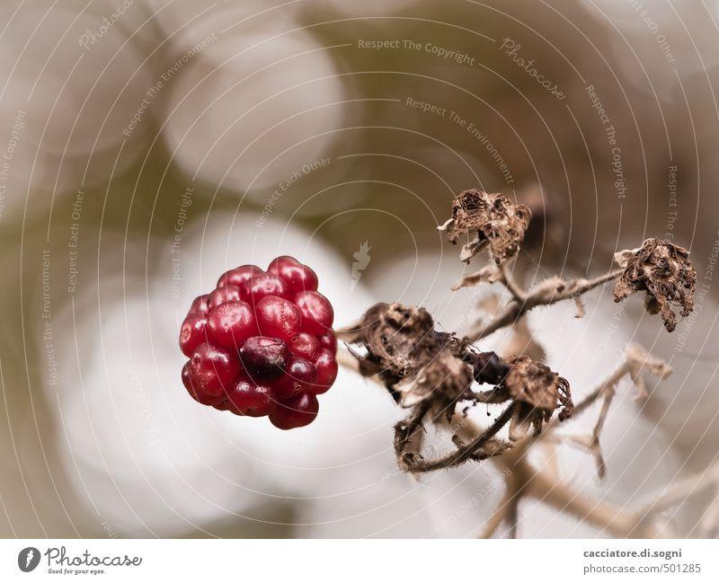 Nur noch wenige Tage Natur weiß Pflanze rot Einsamkeit ruhig Herbst klein braun wild authentisch Schönes Wetter Vergänglichkeit einzigartig rund trocken