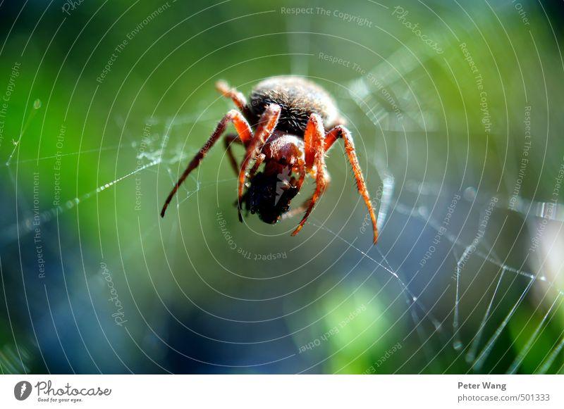 Big spider is watching you! Natur grün Tier klein Essen braun Zufriedenheit Erfolg authentisch beobachten Jagd Frühstück Urwald Spinne