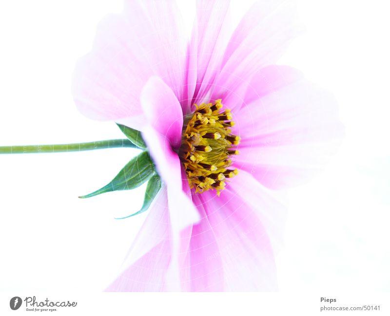 Entfaltung vollendet Farbfoto Innenaufnahme Makroaufnahme Hintergrund neutral Natur Pflanze Blume Blüte Blühend rosa Leben Vergänglichkeit zart Schmuckkörbchen