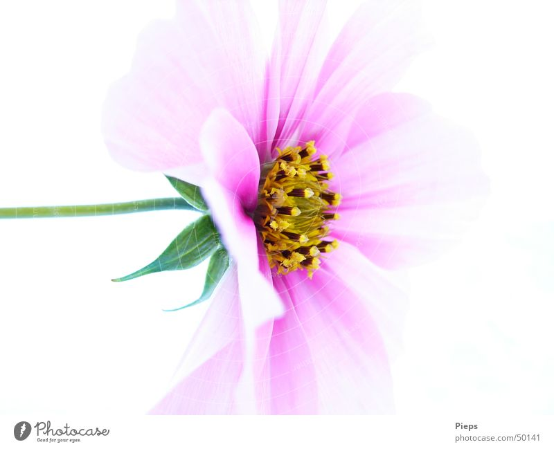 Entfaltung vollendet Natur Blume Pflanze Leben Blüte rosa Vergänglichkeit zart Blühend Schmuckkörbchen