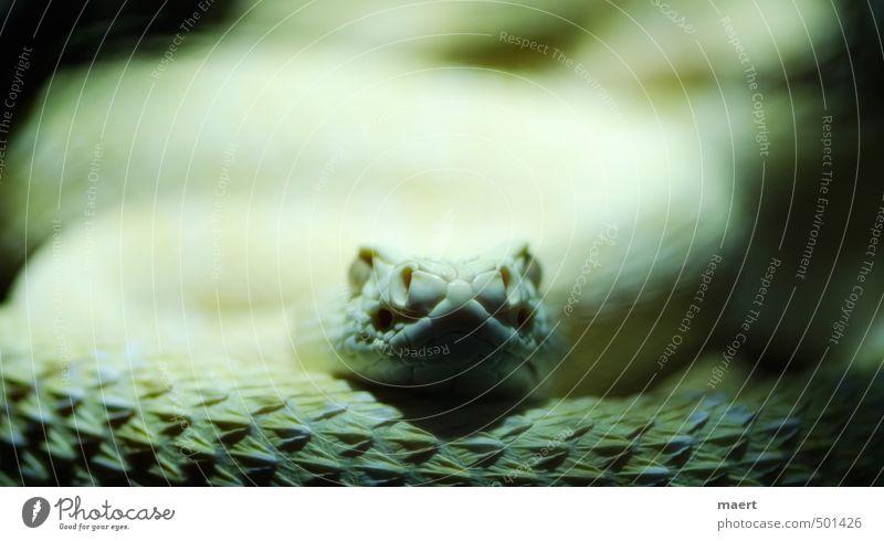 snake Schlange 1 Tier warten Aggression gelb Klapperschlangen Farbfoto Innenaufnahme Nahaufnahme Menschenleer Textfreiraum oben Kunstlicht Zentralperspektive