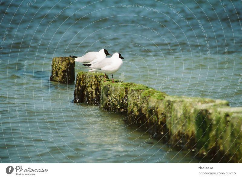 auf der parkbank Meer Vogel Möwe hocken Buhne Sommer Wasser sitzen Ostsee Natur Landschaft