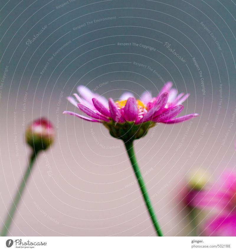 Promise Pflanze Blume Blüte grün rosa Erwartung Blütenblatt Blick nach oben offen Blütenknospen mehrfarbig grau-blau Blühend schön Sinnbild Versprechen