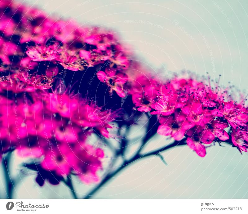Like a Memory of Something Natur schön Pflanze Sommer Blume Blüte rosa Dekoration & Verzierung Blühend viele zart nah Duft verdeckt knallig blau-grau