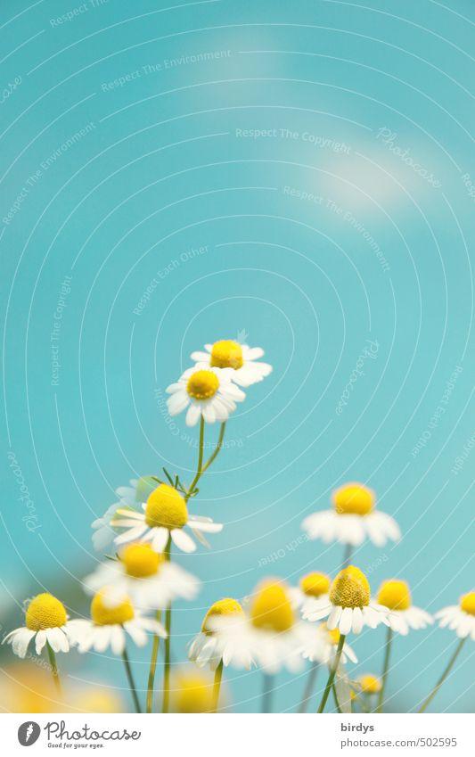 Kamille im Blühmodus Natur Pflanze Himmel Schönes Wetter Blume Blüte Kamillenblüten Blühend Duft leuchten ästhetisch Freundlichkeit Gesundheit positiv Wärme