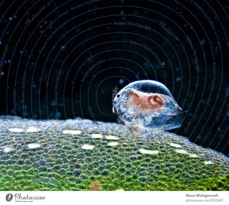 Zooplankton Pflanze Teich Tier Wildtier Wasserfloh 1 blau braun grün rosa Zelle Mikrofotografie Mikroskop Auge Transparente Farbfoto Nahaufnahme Detailaufnahme