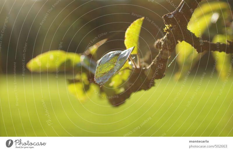 ApfelbaumAst Natur alt Pflanze grün Blatt Umwelt Wärme Herbst natürlich wild authentisch weich Schönes Wetter Freundlichkeit nah