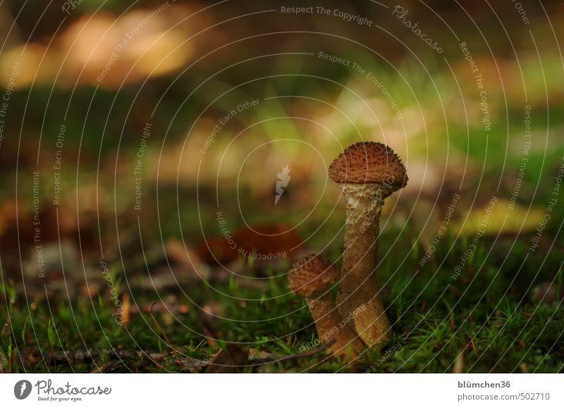 Wer bin ich? Natur Herbst Pflanze Moos Pilz Pilzhut Moosteppich Wald Waldboden stehen Wachstum klein lecker natürlich braun grün Lebensmittel Ernährung Gift