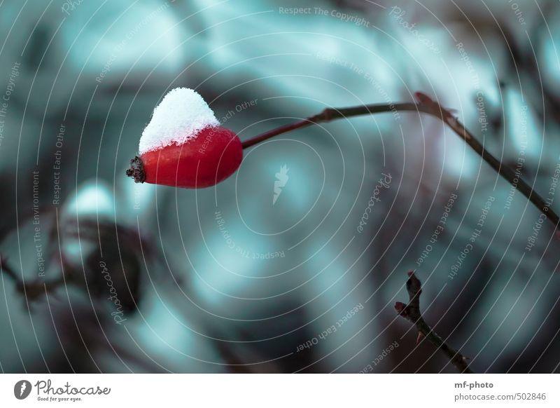 Hagebutte mit Schneehäubchen grün Pflanze rot Winter Schnee türkis Hagebutten