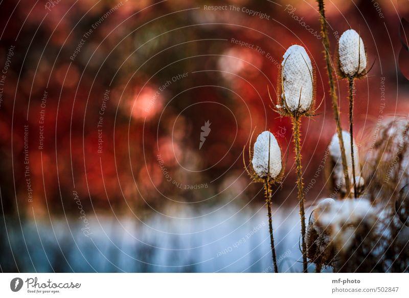 Winterpflanze weiß Pflanze rot Winter Schnee braun