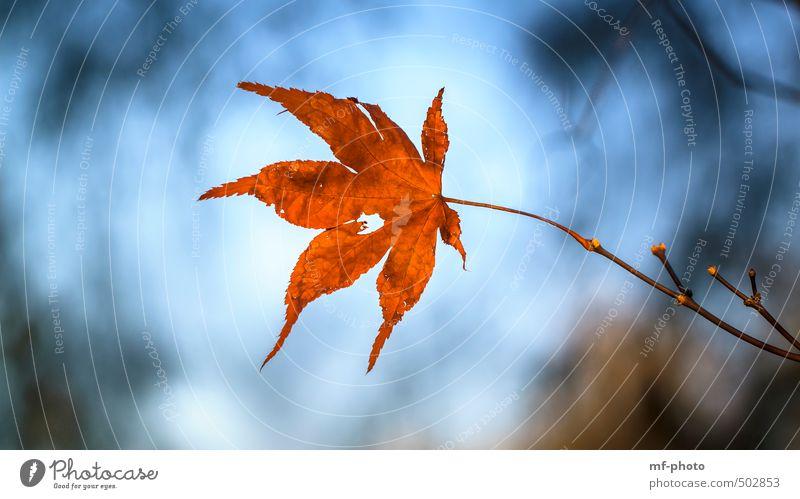Herbstblatt Natur blau Pflanze Baum rot Blatt Herbst Garten Park