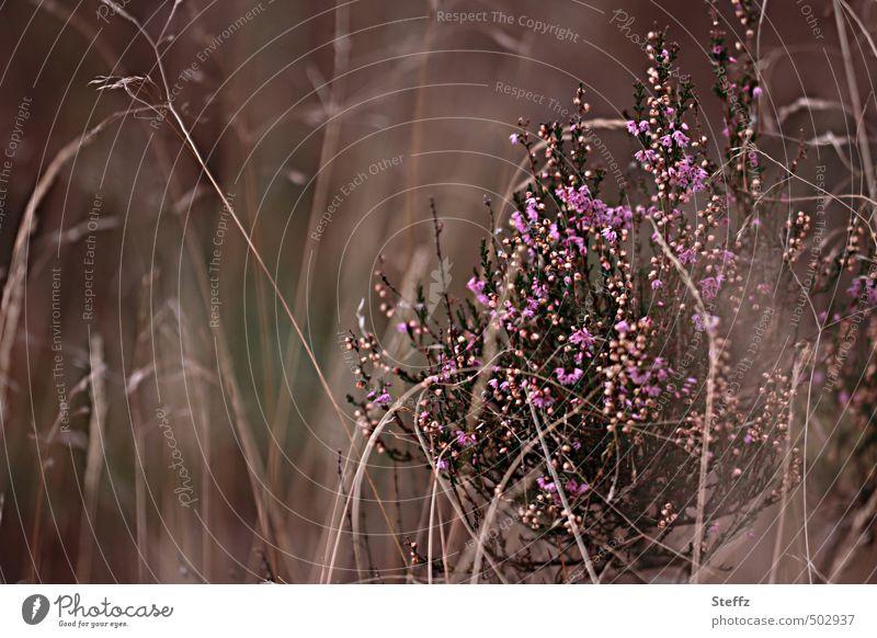 blühender Heidestrauch heimisch heimische Wildpflanze nordisch Heideromantik altmodisch heimische Pflanzen nordische Romantik heimische Wildpflanzen poetisch