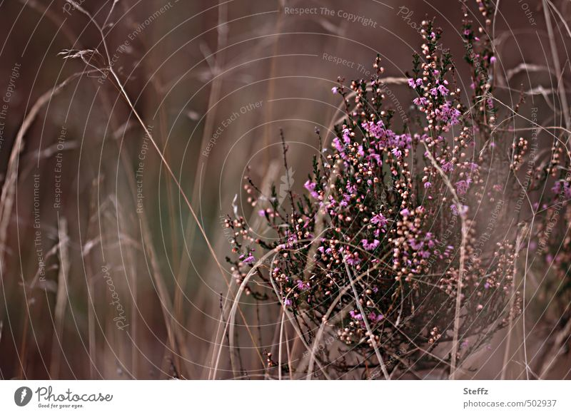 Faszination Heide V Natur schön Farbe Pflanze Herbst braun Stimmung Sträucher Wandel & Veränderung Blühend Romantik geheimnisvoll violett verstecken herbstlich