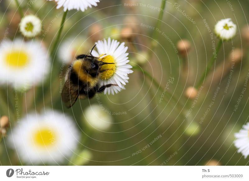 Biene Tier 1 ästhetisch authentisch Frühlingsgefühle schön Natur Wiese Blume harmonisch Farbfoto Außenaufnahme Nahaufnahme