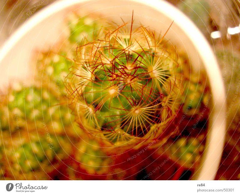 Mein kleiner grüner Kaktus... Natur Wasser weiß Pflanze rot gelb Wachstum Balkon Blütenknospen Topf Stachel Dachboden