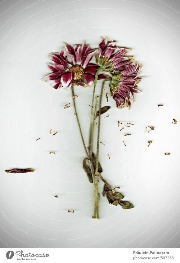 er liebt mich, er liebt mich nicht, er liebt mich... Pflanze Blume Blatt Blüte Blühend natürlich Farbfoto Innenaufnahme Nahaufnahme Detailaufnahme Menschenleer