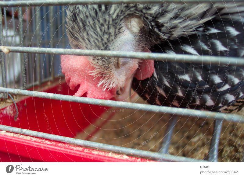 schlafender huhn Vogel schlafen Müdigkeit Ei gefangen Haustier Haushuhn Käfig ausweglos